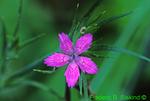 Deptford pink (DF501