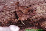 Questionmark butterfly nectoring on red maple sap (BU130)