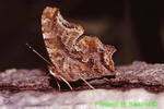 Comma butterfly nectoring on red maple sap (BU133)