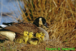Canada goose and goslings on nest (GD15a)