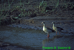 Egyptian geese (AB170)