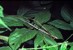 Mating northern walking sticks (IN177)