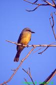 Social flycatcher,(SB594)