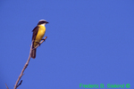 Tropical kingbird (SB619)