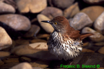 Brown thrasher in patio pond (SB390)