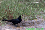 Boat-tailed grackle (SB448)