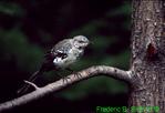 Newly fledged mockingbird (SB460)