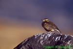 Western meadowlark (SB239)
