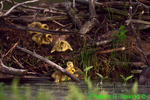 Canada geese goslings leaving nest (GD16)