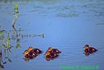 Five mallard chicks (GD276)