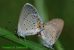 Eastern tailed blues mating (DBU444)