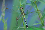 Eastern pondhawk female dragonfly with bent wing (DDF157)