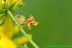 Ambush bug, Phymata (DIN671)