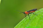 Braconid wasp (DIN676)
