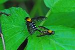 Golden-backed snipe flies mating (DIN681)