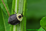 American carrion beetle  (DIN352)