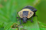 American carrion beetle (DIN359)