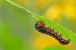 Gold moth caterpillar (DCP36)