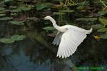 Snowy egret flying (DEG6)