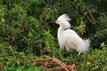 Snowy egret, mating plumage (DEG101)
