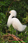 Snowy egret, mating plumage (DEG102)