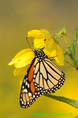 Monarch and tickseed sunflower (DBU110a)