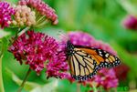 Monarch on purple milkweed (DBU283)