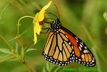 Monarch on tickseed sunflower (DBU285)