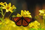 Monarch on tickseed sunflower (DBU286)