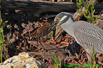Yellow-crowned night heron with freshly caught crab (DHR309)