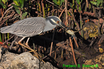 Yellow-crowned night heron with crab (DHR313)
