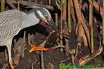 Yellow-crowned night heron with crab (DHR317)