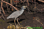 Yellow-crowned night heron with crab (DHR330)