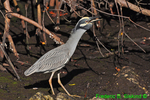 Yellow-crowned night heron with crab (DHR332)