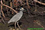 Yellow-crowned night heron swallowing crab (note thick neck) (DHR333)
