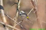 Yellow-rumped (Myrtle) warbler (DSB85)