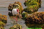 White ibis with crab (DIB44)