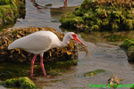 White ibis with crab (DIB47)