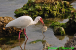 White ibis with crab (DIB53)