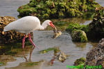 White ibis with crab (DIB56)