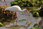 White ibis with crab (DIB58)