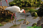 White ibis dipping crab (DIB61)