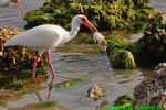 White ibis with crab (DIB62)