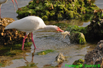 White ibis with crab (DIB63)
