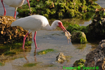 White ibis with crab (DIB65)