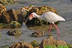 White ibis with crab (DIB69)