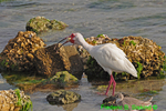 White ibis swallowing crab (DIB70)