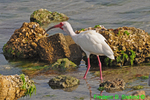 White ibis swallowing crab (DIB71)