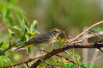 Palm warbler with damselfly (DSB304)