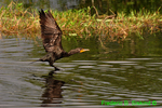 Double-crested cormorant landing (DCO51)